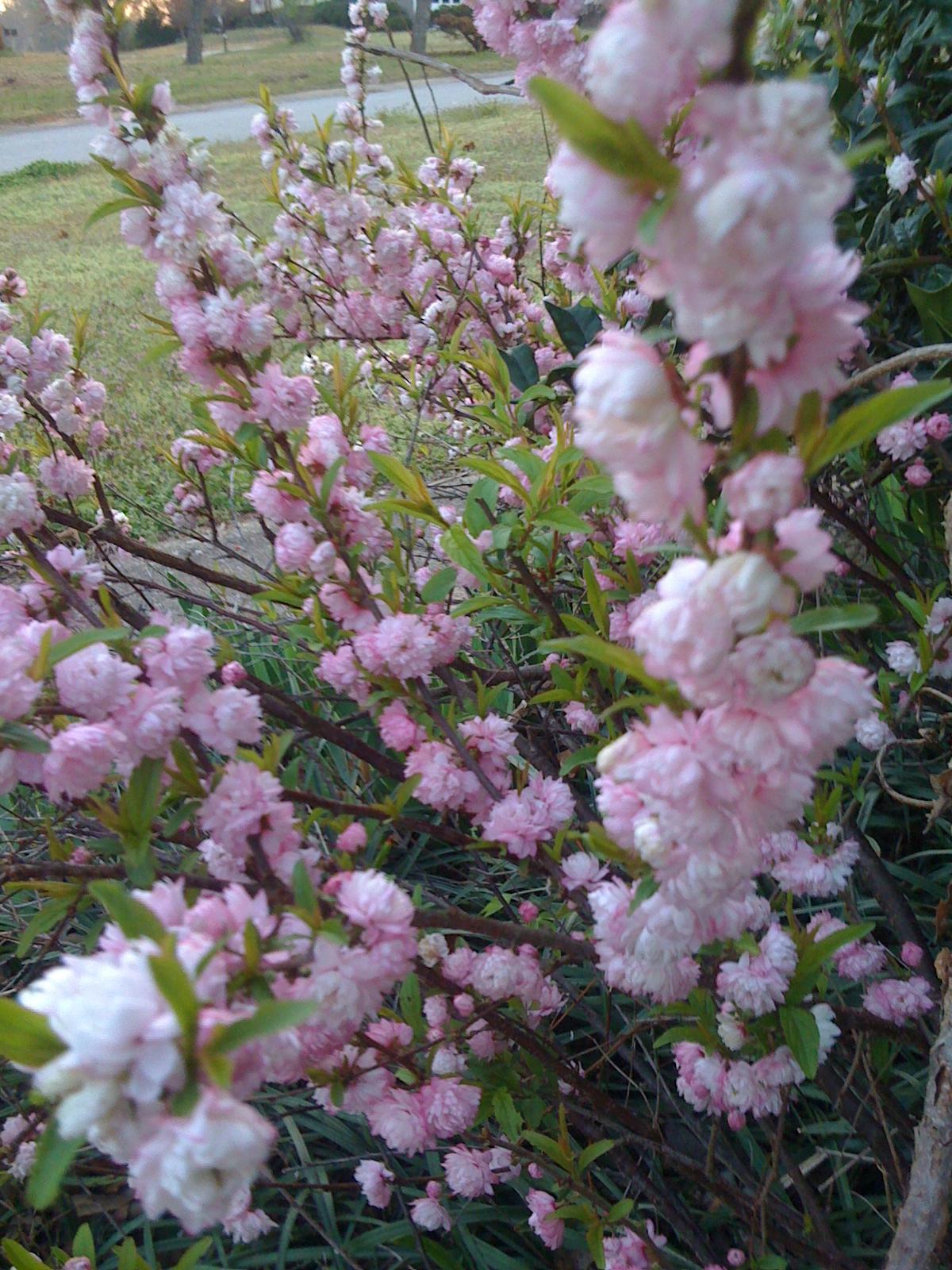 Pink Flowering Almond Bush images